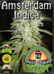 vancouver-amsterdam-indica-seeds